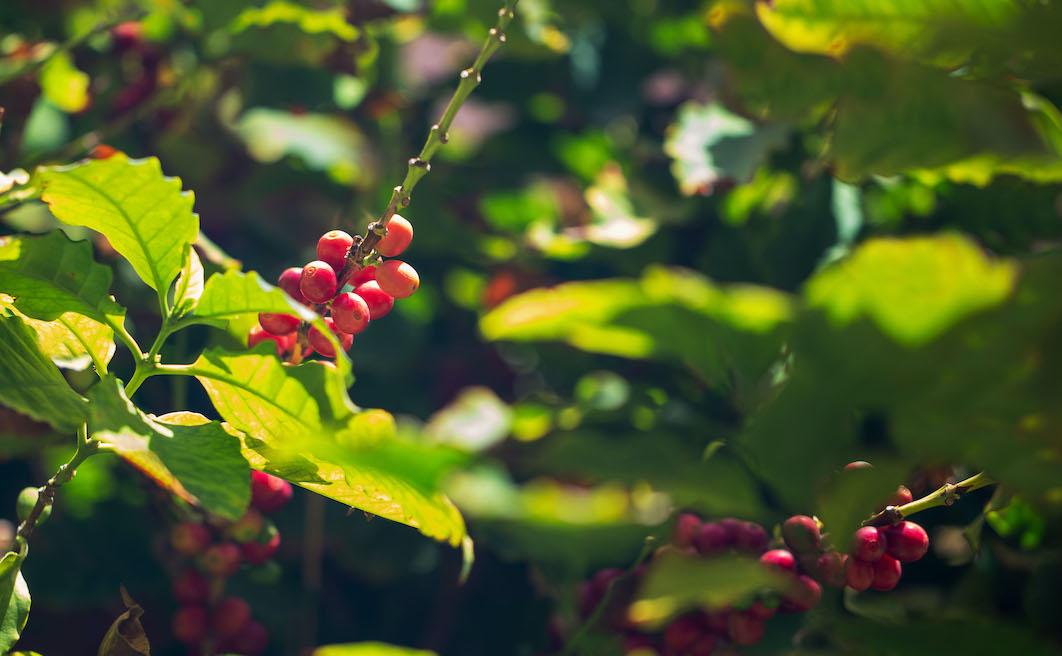 Palermo come Panama: è qui la prima piantagione di caffè italiana